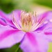 Spring Clematis by j man ツ