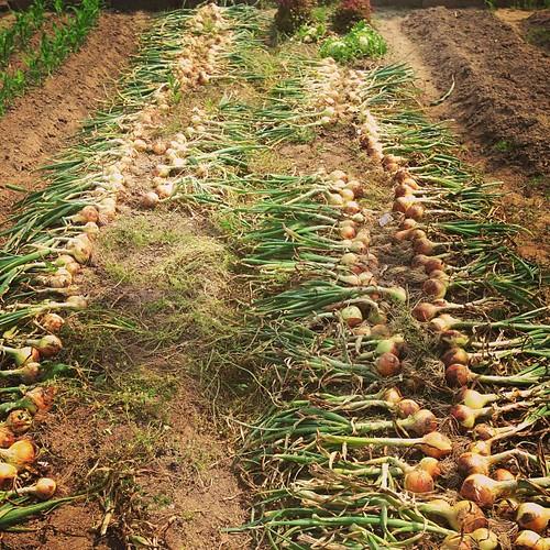 普通の玉ねぎも、収穫ing。手が臭い...