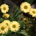 Alpine Yellow Fleabane - Photo (c) TANAKA Juuyoh (田中十洋), some rights reserved (CC BY)