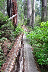 Fallen Redwood, Lady Bird Johnson Grove