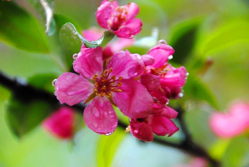 apple blossom after rain