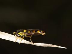 Sphaerophoria scripta ? (Syrphidae)
