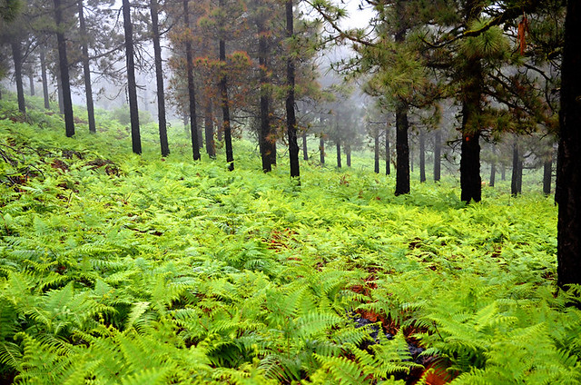 A Forest of Ferns, Gran Canaria