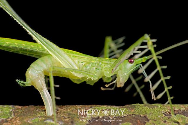 Katydid (Tettigoniidae) - DSC_1091