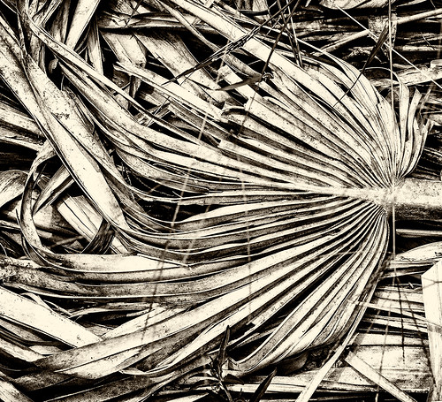 palm frond in black and white by joeeisner