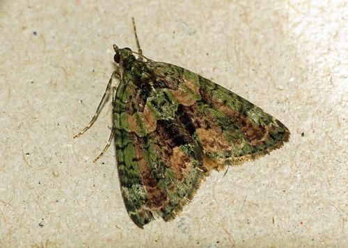 1760 Red-green Carpet - Chloroclysta siterata