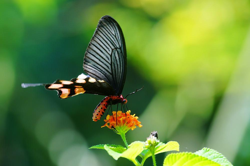 麝鳳蝶屬長尾麝鳳蝶-1