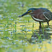 Green heron with sushi