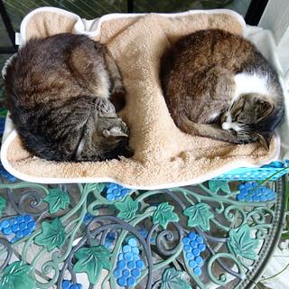 「Juillet」の猫2匹。