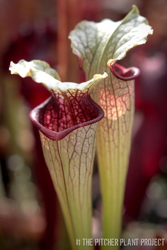 Sarracenia oreophila x leucophylla