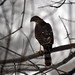 Small photo of Juvenile Sharp-shinned Hawk (Accipiter striatus)