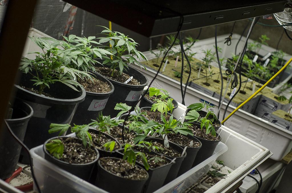 A Firenze si produrrà la marijuana di Stato