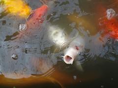 carp, fish, fish, marine biology, koi, goldfish,