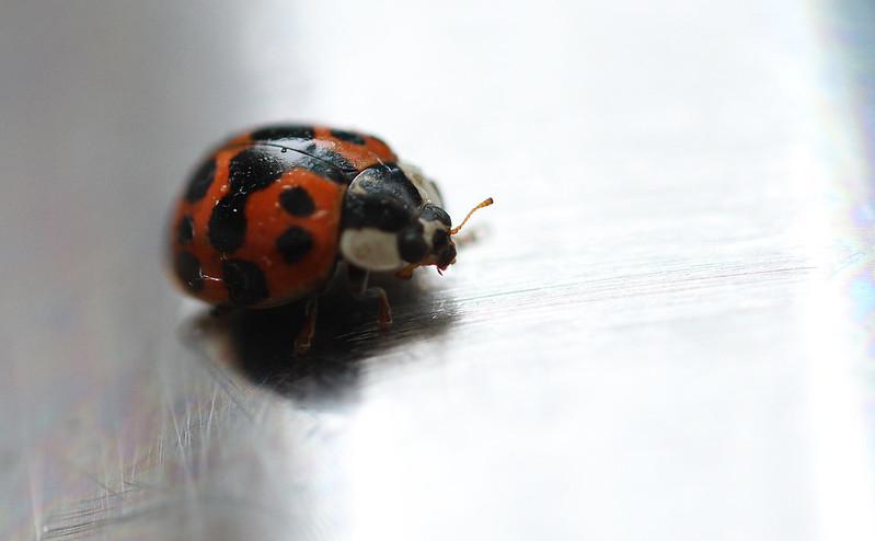 ladybug on sink2