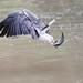 White-bellied Sea Eagle by kampang