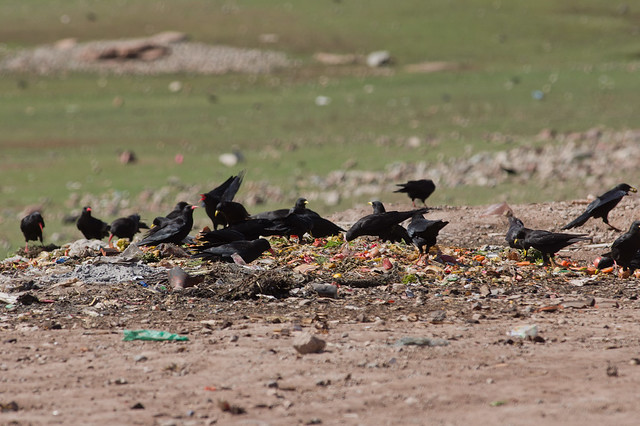 Choughs and Alpine Choughs