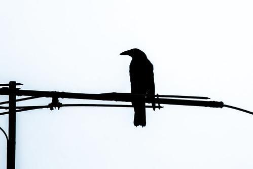 The crow.