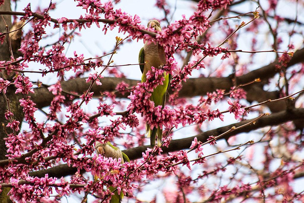 ¿Quiénes comen las flores del árbol del amor?