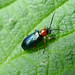 Small photo of Oulema melanopus / duftschmidi. Chrysomelidae