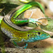 Rainbow Whiptail - Photo (c) Jei Pov, some rights reserved (CC BY-NC-SA)