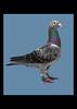 Ryan's Pigeon.jpg