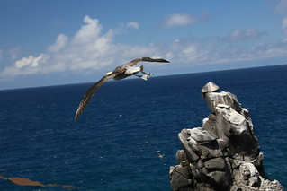 Waved Albatross.  Galapagos, Ecuador.