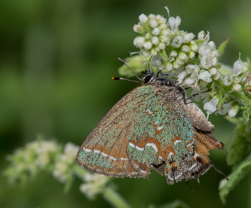 juniperhairstreak callophrysgryneus bonniecoatesott