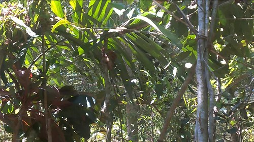 Tarseros en Bohol