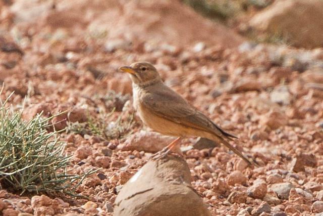 Header of Ammomanes deserti