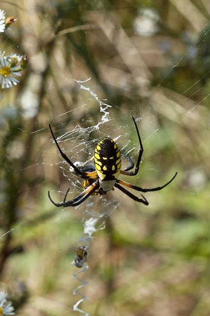 Argiope Aurantia Black And Yellow Garden Spider Argiope Flickr Photo Sharing
