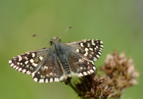 Grizzled Skipper, Bentley Wood, Wiltshire