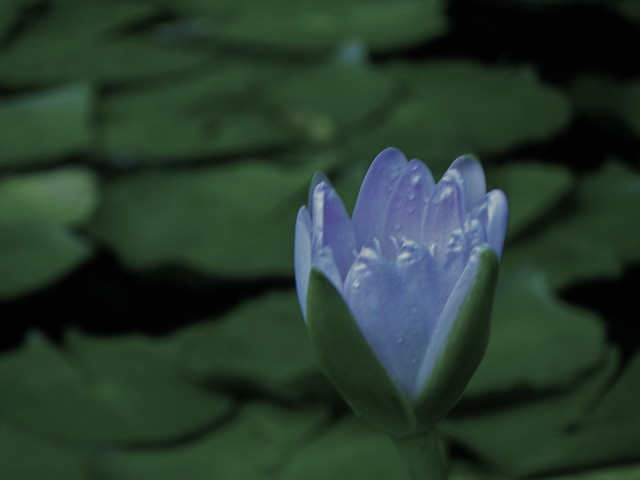 Water lily, Royal Botanic Gardens, Sydney. Credit: Richard Pallardy