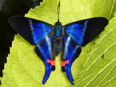 Butterflies of Ecuador
