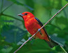 Scarlet Tanager by Jim Sullivan