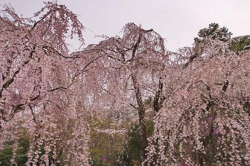 【写真】桜 : 天龍寺