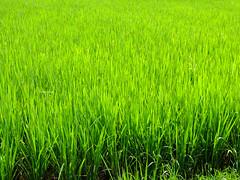 Green green rice