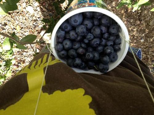 blueberries-3