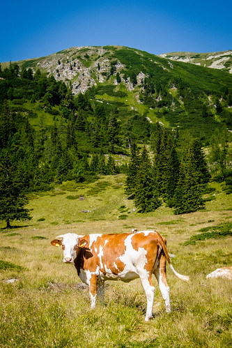 mountain alps nature grass animal cow rocks hiking hike seckaueralpen seckauerzinken