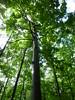 ほおの木 ベルツの森