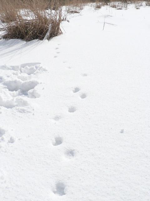 タヌキの足跡.この日は雪が降ったばかりだったので,動物の足跡が少なかった.
