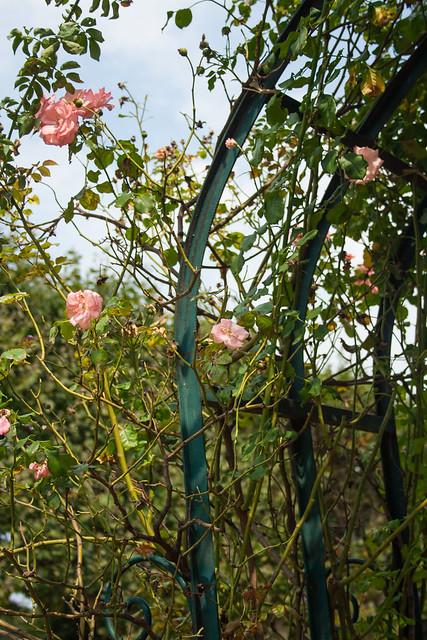 Roses at Jardin des Plantes