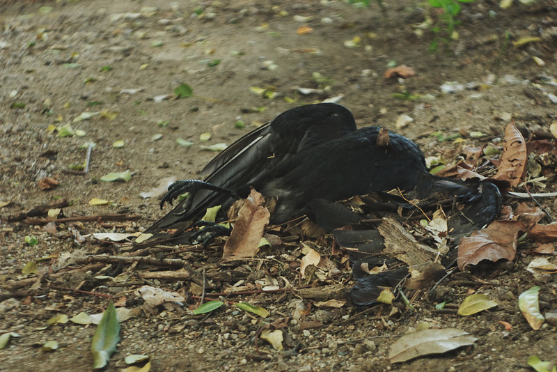 Death of a crow