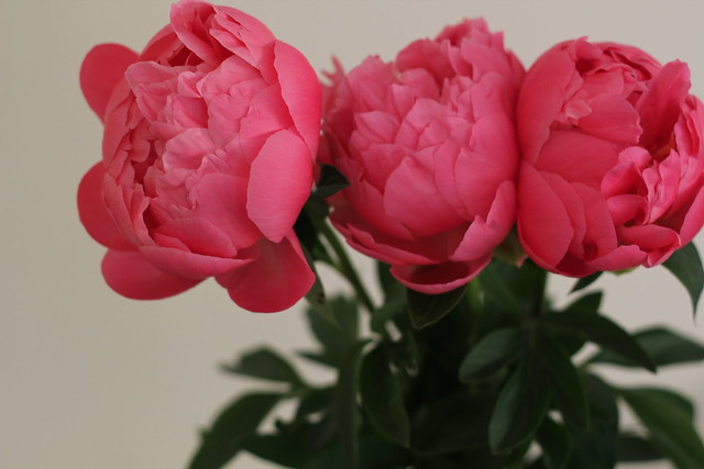 Thursday: birthday peonies