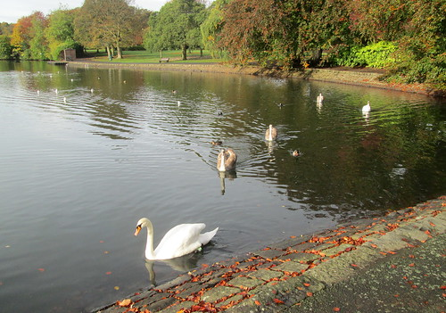 Autumnal Swans