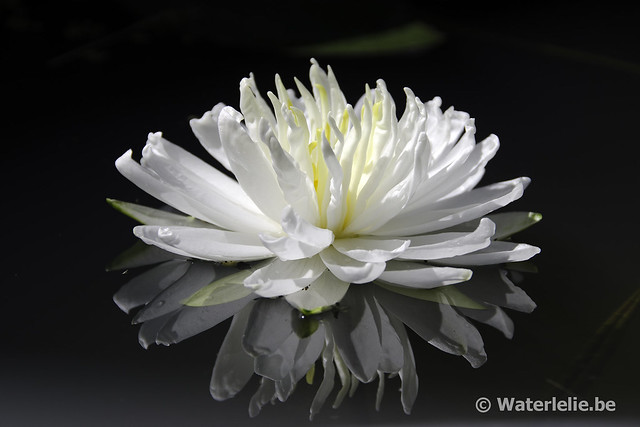 Waterlelie Snowflake of Nymphaea Snowflake