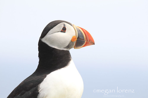 Puffin Portrait by Megan Lorenz