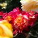 あか しろ きいろ - Colorful roses -