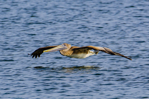 Pelican skimming the waters of #TampaBay