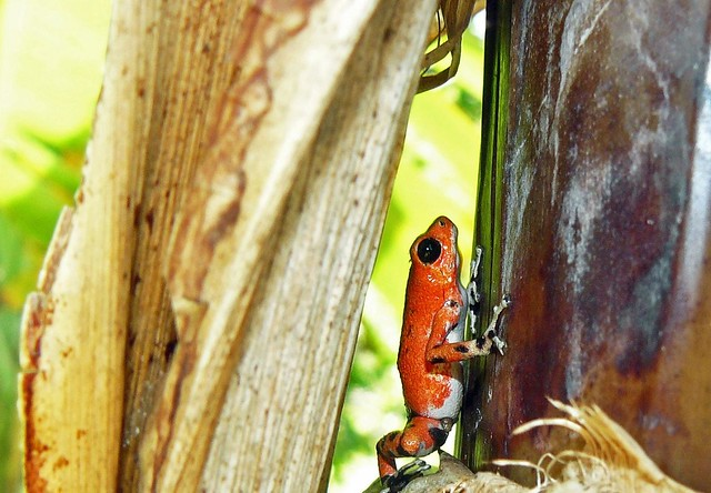 Rana roja de flecha de Isla Bastimentos (Boca del Toro, Panamá)