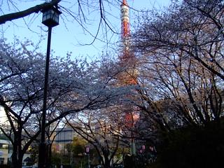 朝5時半・桜